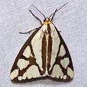 Reversed Haploa Moth - Hodges #8109 - Haploa reversa