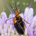 Unknown Beetle - male - female