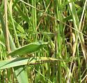Broad- winged Bush  Katydid  - Scudderia pistillata - male