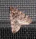Pyralid moth - Aglossa pinguinalis