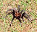 Texa Brown Tarantula - Aphonopelma hentzi
