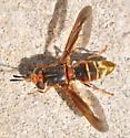 Soldier fly - Hermetia comstocki