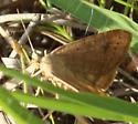 An orangy-tan moth - Caenurgia chloropha