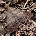 brown moth - Renia new-species