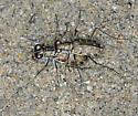 S-Banded Tiger Beetle - Cicindelidia trifasciata - male - female