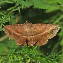 Detracted Owlet Moth - Lesmone detrahens