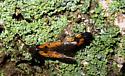 Moths - Chrysoclista linneella - male - female
