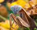 Mantis - Tenodera sinensis