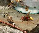 European Hornet and