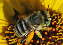Reality Check: Is this Anthophora? - Anthophora curta - female