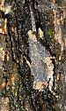 Riverside Pygmy - Paratettix cucullatus - male