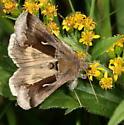 Celery Looper - Anagrapha falcifera (Hodges#8924) - Anagrapha falcifera
