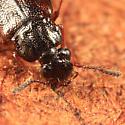 rove beetle - Omalium rivulare