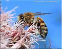 Anthophorini sp - Apis mellifera - female