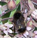 Bumble Bee: Bombus terricola or  B. pensylvanicus? - Bombus terricola