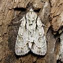 Acronicta lepetita - Hodges #9223 - Acronicta lepetita