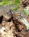 Stilt-legged Fly - Calobatina geometra