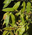 Prunus leafminer - Stigmella?