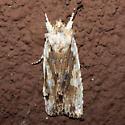 Pinion Moth - Lithophane patefacta