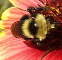 Possible Cuckoo Bee on Gaillardia - Bombus rufocinctus