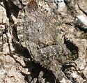 True bugs mating - Brochymena quadripustulata