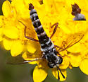 Mydid Fly - Pseudonomoneura - male