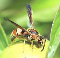 Eumeninae - ? - Euodynerus pratensis - female