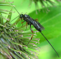Braconid Wasp - Agathis malvacearum - female