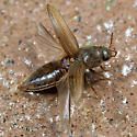 Agriotes lineatus ? - Agriotes lineatus