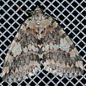 Moth - Hydriomena nubilofasciata