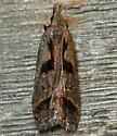 bilobed dichomeris - Dichomeris bilobella
