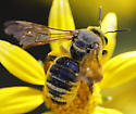 unknown bee - Dieunomia - female