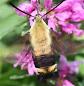 Clearwing - Hemaris diffinis