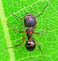 ant with big jaws - Camponotus subbarbatus