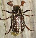 Polyphylla variolosa
