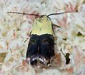 Micromoth - Rectiostoma fernaldella