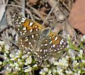 butterfly - Apodemia mormo - female