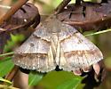 moth #4 from Holly Shelter Gamelands for i.d. - Argyrostrotis sylvarum