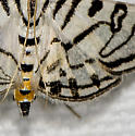 Zebra Conchylodes - 5292 - Conchylodes ovulalis