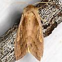 Pickerelweed Borer Moth - Bellura densa
