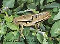 7009807 - Conalcaea huachucana - female