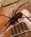 Giant Vancouver House Spider? - Eratigena atrica