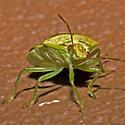 Stink Bug - Banasa calva