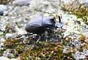 Dung Beetle 1 - Copris fricator - male
