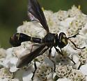 Wasp on yarrow - Physocephala sagittaria - female