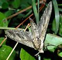 Large Sphinx Moth - Ceratomia amyntor