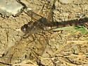 Blue-faced Meadowhawk - Sympetrum ambiguum - female