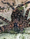 Spider Found in Turtle Shell - Dolomedes tenebrosus