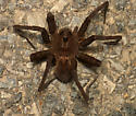 Big Spider - Dolomedes vittatus - female