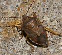 Pentatomidae - Podisus maculiventris